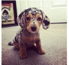 I can't wait! I'm getting a Dashund!!! Winter break can't come soon enough!