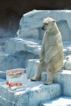 Polar Bear waiting for ice melt to get to apples...