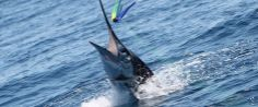 Take a nice trip into deep water to fish for some amazing Marlin