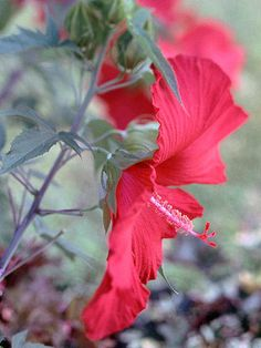 Hardy Hibiscus Treat yourself to the big, bold flowers of hardy hibiscus. Dinner-plate-sized flowers adorn the plants through late summer and early fall and appear in shades of red, pink, and white. A Top Native Plant for Southern Gardens Hibiscus Flowers, Love Flowers, Beautiful Flowers, Tall Flowers, Beautiful Wall, Spring Flowers, Florida Plants, Florida Flowers, Florida Gardening
