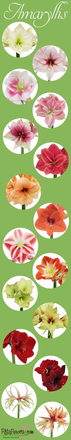 New Varieties and Lower Prices on our Fresh Amaryllis Flowers! Perfect for the Holidays and Beyond! Get yours Now at FiftyFlowers.com!