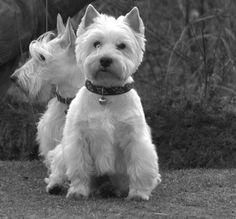 Scottie (l)  Westie (r)  Max en Yip Oostvoorne by Cl@udi!, via Flickr http://theladyisachamp.blogspot.com/2013/05/celebrating-beauty-of-my-westie-angel.html