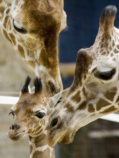 Giraffe Calf is Seen with Her Father and Her Mother at the Berlin Zoo