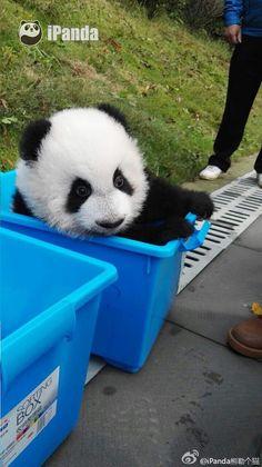 #pandas#panda#animals