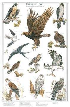 Birds of Prey: II Identification chart | Bird Identification Charts