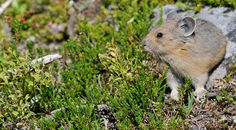"""The pika or """"rock rabbit"""" is the smallest member of the rabbit family. They live on rock slides and talus slopes from 6,000 to 8,500 feet. Although well camouflaged, pikas can often be located by their piercing call that sounds like a high-pitched """"eep"""". They are often seen on the rockslides at Mount Edith Cavell."""