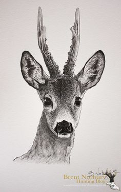 roe deer drawing - Google Search