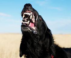 Ideas Tattoo Dog Black Wolves For 2019 Creepy Animals, Diy Dog Collar, Diy Dog Toys, Dog Teeth, Wild Dogs, Dog Paintings, Disney Tattoos, Dog Tattoos, Dog Quotes