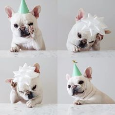 """""""Wait, so I'm the Birthday Boy AND the Present?"""", Poor Theo, the confused French Bulldog, #theobonaparte"""