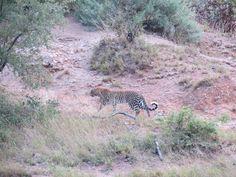 Leopard near Mopani, Kruger Park