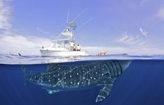 A 50-foot-long whale shark dwarfs a 34-foot-long luxury yacht off the coast of the Yucatán peninsula.