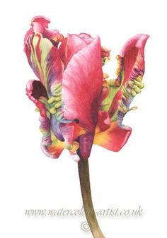 parrot tulip Parrot Tulips, Tulips Flowers, Botanical Flowers, Botanical Prints, Botanical Drawings, Botanical Illustration, Watercolor Flowers, Watercolor Art, Tulip Painting