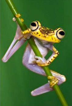'Chachi Tree Frog' (Hypsiboas picturatus) - photo by Pete Oxford; The Imbabura tree frog is found in Colombia and Ecuador. Funny Frogs, Cute Frogs, Beautiful Creatures, Animals Beautiful, Animals And Pets, Cute Animals, Frog And Toad, Tier Fotos, Reptiles And Amphibians