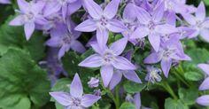 flor - Campanula fenestrellata