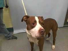 KILLED BY ACC - 07/26/15 - TO BE DESTROYED - 07/26/15 - PATCHES - #A1045072 - Urgent - Manhattan - MALE RED/WHITE AM PIT BULL TER/AMERICAN STAFF, 5 Yrs - OWNER SUR - EVALUATE, NO HOLD Reason INAD FACIL Intake Date 07/22/15