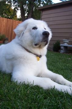 Great Pyrenees, our's is almost six months old. Such a good breed