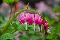 My Bleeding Hearts by pinkdressngreeneyes, via Flickr