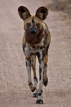 This African Wild Dog has seen too many episodes of The Walking Dead.