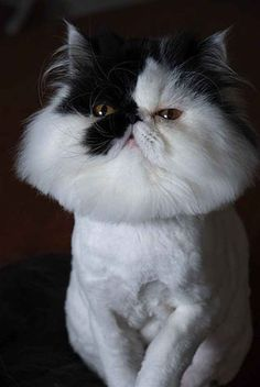 Persian Cat Haircut Kitty had summer cut. Shaved Animals, Nine Cat, Cat Haircut, Ugly Cat, Fleet Foxes, Funny Animals, Cute Animals, Long Haired Cats, Russian Blue