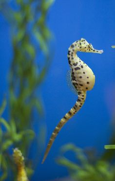 magicalnaturetour:      Pot-Bellied Sea Horse (by San Diego Shooter)