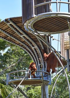 Gallery of Perth Zoo Orang-utan Exhibit / iredale pedersen hook architects - 5 - Cool Zoo ideas - Primates, Orangutan Sanctuary, Zoo Decor, Zoo Architecture, Orang Utan, Pet Tiger, Tiger Cubs, Bengal Tiger, The Zoo