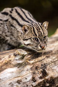 Fishing cat, Wildlife Heritage Foundation 26/10/2012 (by Dave learns his Dig SLR?)