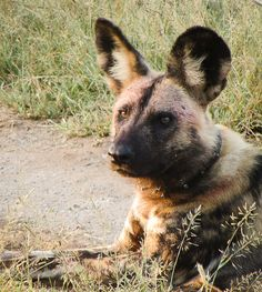 The wild dogs of Mkhuze Game Reserve - Getaway Magazine Kwazulu Natal, Game Reserve, Wild Dogs, Hunting Dogs, Great Places, South Africa, Disneyland, Safari, Labrador