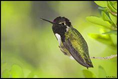Costa's Hummingbird | Costa's Hummingbird, Tucson, AZ