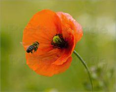 Mohn Traum von Falko Follert Art-FF77. Poppy, Papaver, Pavot, Papoula, Ppiun, Poipín, Flower, Nature, Poppies, Mohn, Mohn, Mohnblume, Mohn Poster, Mohnblumen Poster, Blume, Blumen, Natur, Natur Blumen