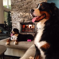 By a fire somewhere in Michigan. Bermese Mountain Dog, Mountain Dogs, Burmese Mountain Dog Puppy, Baby Animals, Cute Animals, Puppy Pictures, Beautiful Dogs, Mans Best Friend, Dog Training
