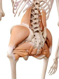Find Medically Accurate Anatomy Illustration Hip Muscles stock images in HD and millions of other royalty-free stock photos, illustrations and vectors in the Shutterstock collection. Muscle Anatomy, Body Anatomy, Human Anatomy, Hip Muscles Anatomy, Hip Anatomy, Referred Pain, Tight Hip Flexors, Back Pain Exercises, Medical Anatomy