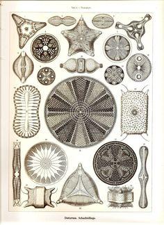 Ernst Haeckel Radiolaria
