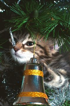 =^..^= For more Christmas cats, visit https://www.facebook.com/funholidaycats