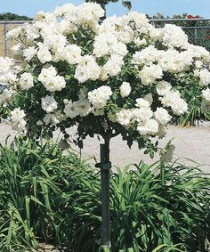 Another great find on #zulily! Iceberg Rose Tree by Weeks Roses #zulilyfinds