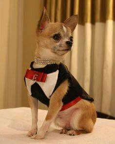 Dapper little fella #chihuahua