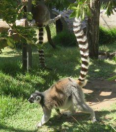 Lemur, isn't the tail magnificent?