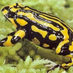 The Southern Corroboree Frog is one of Australia's most critically endangered animal species.