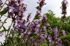 26 bylinek na zahrádku, které musíte mít! La Germination, Salvia Officinalis, Plantation, Plants, Organic Matter, Plant Cuttings, Sage, Planters, Plant