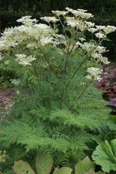 Selinum wallichianum (tenuifolium) Garden Landscape Design, Garden Landscaping, Garden Paths, Shade Plants, Green Plants, Cottage Garden Plants, Woodland Garden, White Gardens, Back Gardens