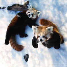 Playful Red Pandas -- OH THE CUTENESS!!!!