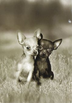 Chihuahuas Love Your Dog? Visit our website NOW!