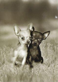 hello Chihuahua 2015 https://www.youtube.com/watch?v=mSPSRRkkzA8
