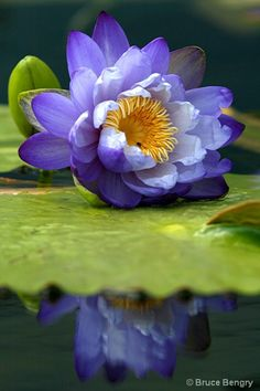 <3 {PURPLE} reflection -- Water Lily <3