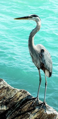 This great blue heron was perched on the south jetty in Venice, Florida.