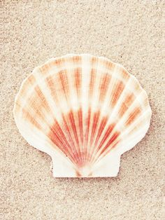 Scallop Shell by by Carolyn Cochrane Photography