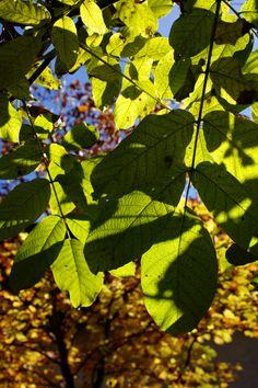 Backlit leaves, autumn