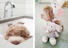 Adorable Shar-Pei Puppy Looks Like a Cuddly Teddy Bear - My Modern Met