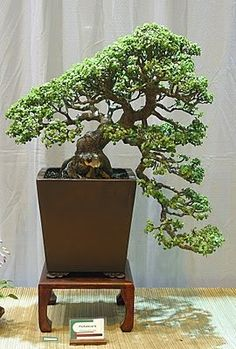 The Advantages Of Growing Food Indoors With Hydroponic Gardening Jade Bonsai, Succulent Bonsai, Bonsai Art, Bonsai Plants, Bonsai Garden, Planting Succulents, Succulent Wall, Succulents Garden, Cactus Plants