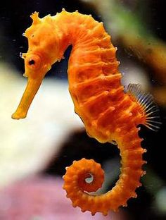 Seahorse photography hippocampus reidi orange 10 11 cm vector illustration of sea animals cartoon coloring book Underwater Animals, Underwater Creatures, Ocean Creatures, Beautiful Sea Creatures, Animals Beautiful, Colorful Seahorse, Sea Dragon, Beautiful Fish, Ocean Life