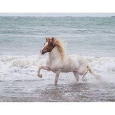 Horse running on coastline Iceland Canvas Art - Panoramic Images (12 x 36)